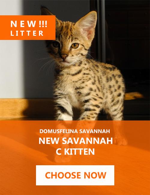 Savannah Cats for Sale, Savannah cats Breeder - DOMUSFELINA