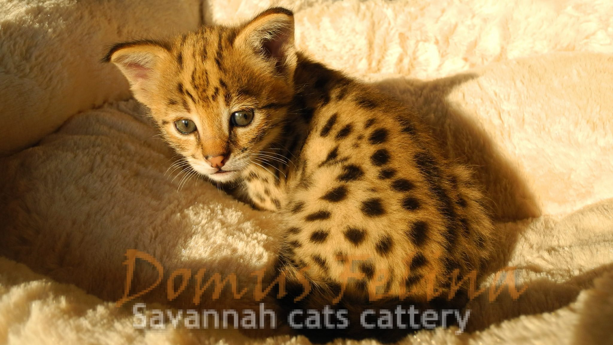 Savannah Cats For Sale Savannah Cats Breeder Domusfelina