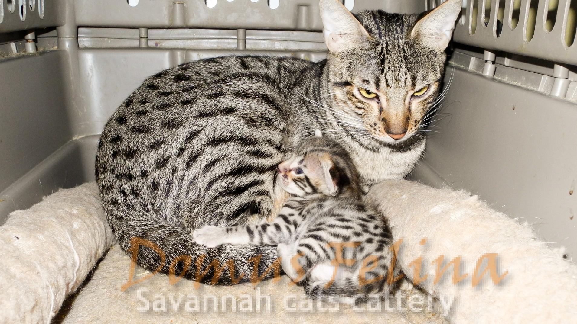 Born New Savannah SBT (F5) Kitten | DOMUS FELINA SAVANNAHS