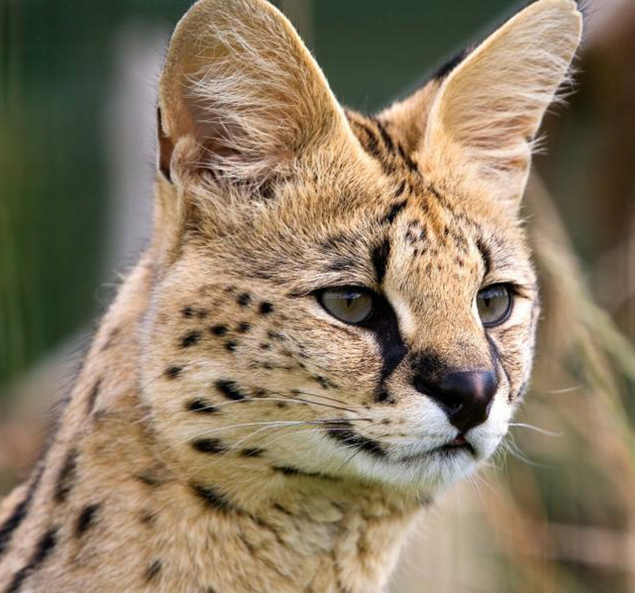 Savannah Cats for Sale, Savannah cats Breeder - DOMUSFELINA