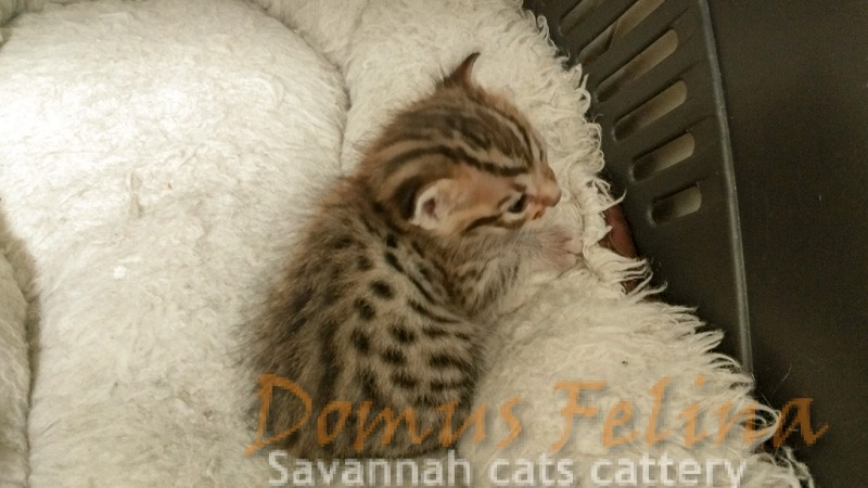 Savannah Kittens Litter SBT - DOMUS FELINA SAVANNAHS